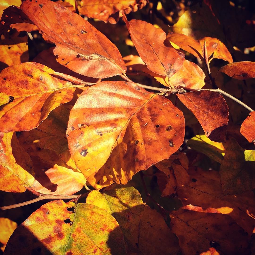 Herbstblätter, rotgefärbt, noch am Baum