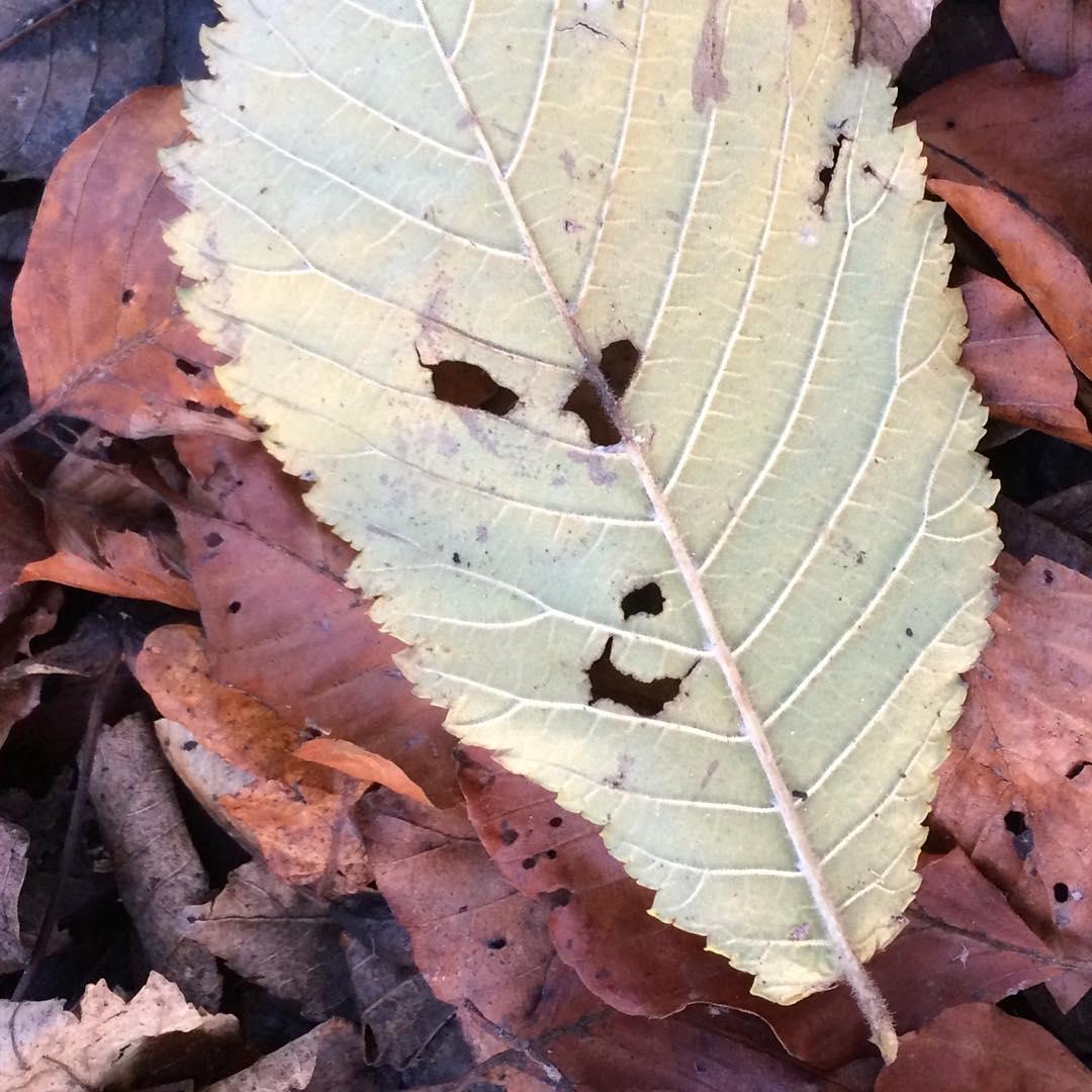 Blatt auf anderen Blättern liegend, das durch die Löcher in der Oberfläche wie ein lächelndes Gesicht aussieht