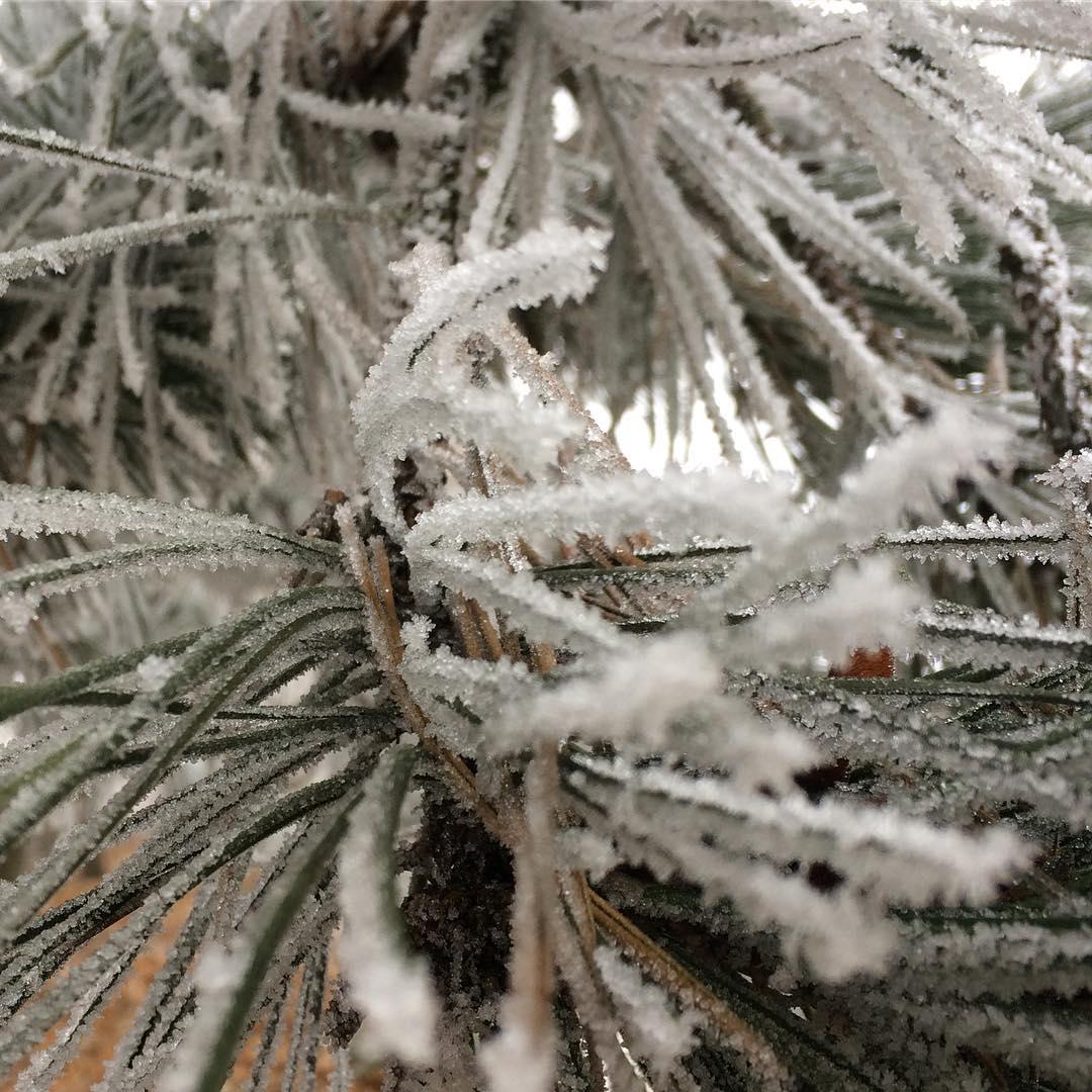 Frostiger Föhrenzweig